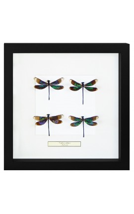 "Decorative frame with four dragonflies ""Euphae refulgens"""