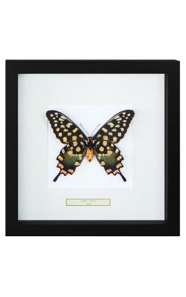 """Cadre décoratif avec papillon """"Antenor"""""""