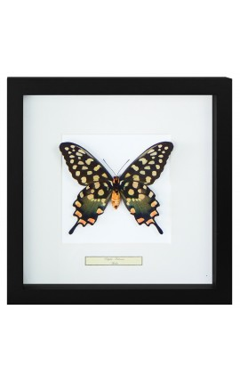 "Decorative frame with a butterfly ""Antenor"""