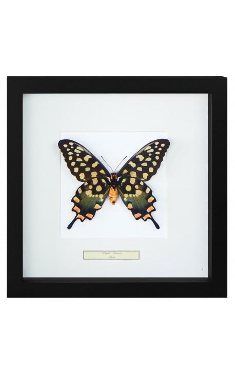 """Cadre décoratif avec un papillon """"Antenor"""""""