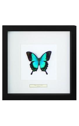 """Cadre décoratif avec papillon """"Lorquianus Albertisi"""""""