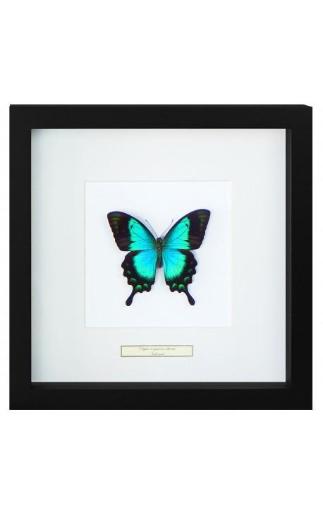 "Cadre décoratif avec un papillon ""Lorquianus Albertisi"""