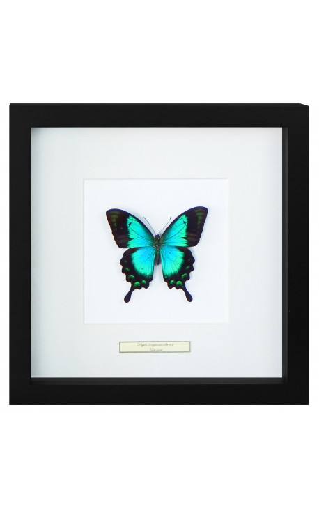 """Decorative frame with a butterfly """"Lorquianus Albertisi"""""""