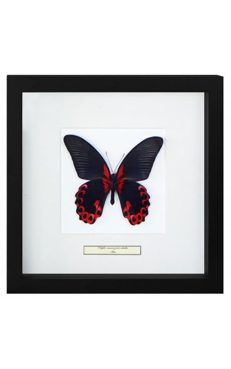 "Cadre décoratif avec un papillon ""Rumansovia Eubalia"""