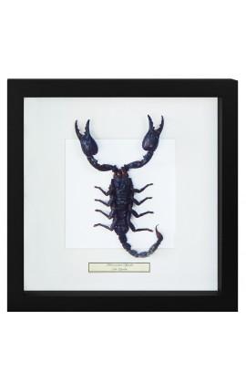 "Cadre décoratif avec Scorpion ""Heterometrus Spinifer"""