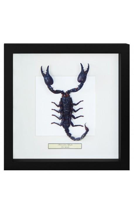 """Cadre décoratif avec un Scorpion """"Heterometrus Spinifer"""""""