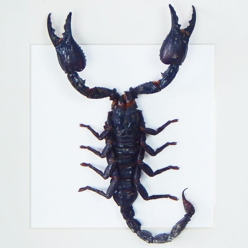 cadre d coratif avec scorpion heterometrus spinifer. Black Bedroom Furniture Sets. Home Design Ideas