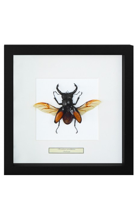 "Decorative frame with a beetle ""Hexatrius mandibularis"""