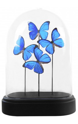 "Butterflies ""Morpho Menelaus"" under a glass globe"