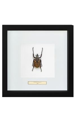 "Decorative frame with a scrab ""Goliathus Albosignatus"""