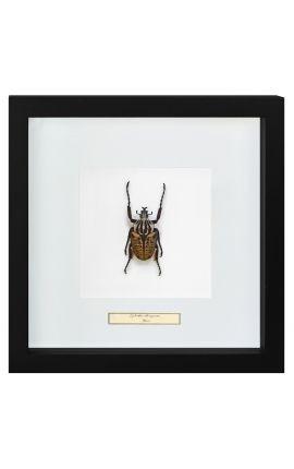 """Cadre décoratif avec Scarabée """"Goliathus Albosignatus"""""""