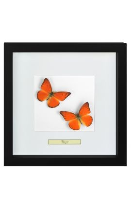 "Decorative frame with two butterflies ""Appias Nero"""