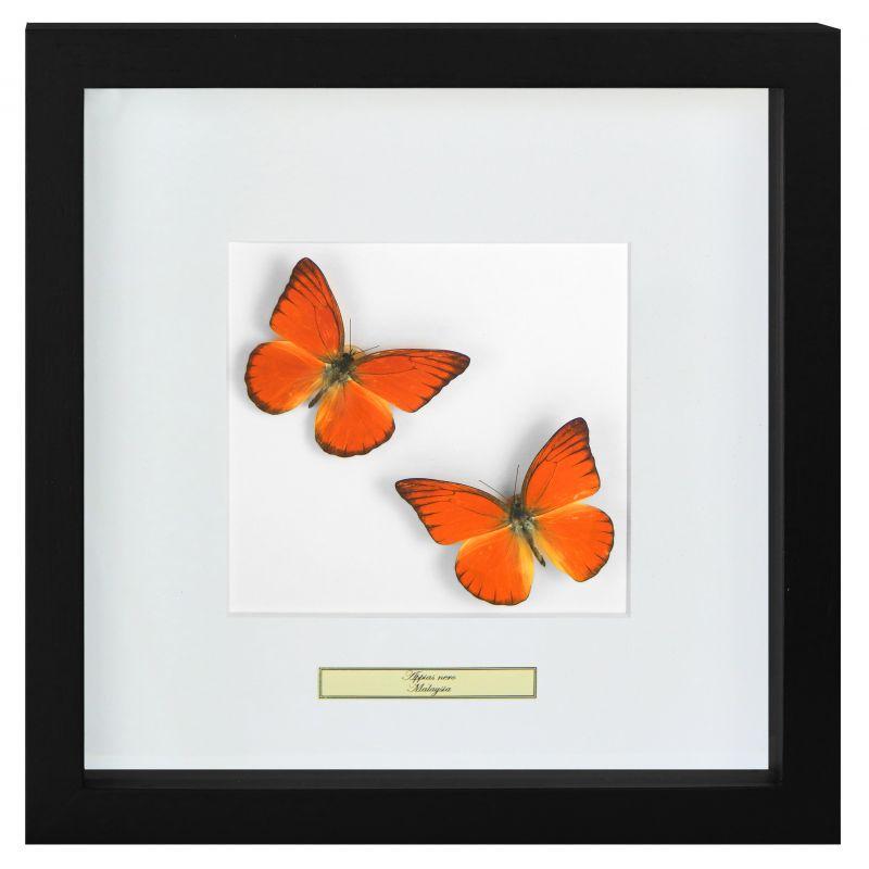 cadre d coratif avec papillons appias nero. Black Bedroom Furniture Sets. Home Design Ideas