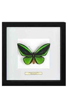 "Cadre décoratif avec papillon ""Ornithoptera Priamus Poseidon"""