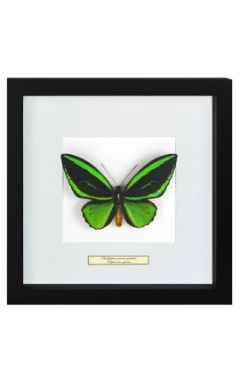 "Decorative frame with a butterfly ""Ornithoptera Priamus Poseidon - Male"""