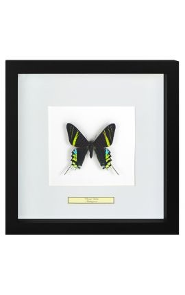 "Decorative frame with a butterfly ""Urania Leilus"""