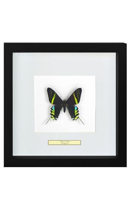 """Cadre décoratif avec papillon """"Urania Leilus"""""""