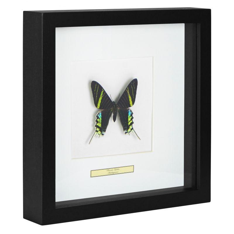 cadre d coratif avec papillon urania leilus. Black Bedroom Furniture Sets. Home Design Ideas