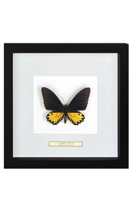 """Cadre décoratif avec papillon """"Ornithoptera Troide - Male"""""""