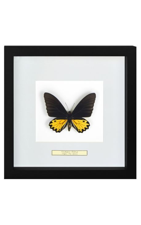 "Decorative frame with a butterfly ""Ornithoptera Troide- Male"""