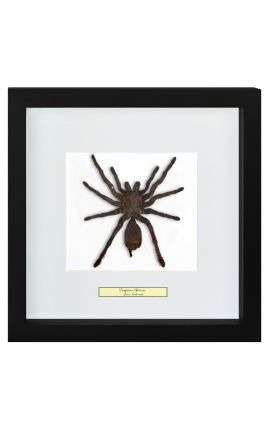 "Cadre décoratif avec mygale ""Eurypeima Spinicrus"""