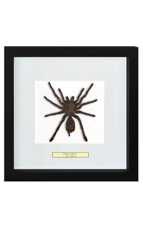 """Decorative frame with a tarantula spider """"Eurypeima Spinicrus"""""""