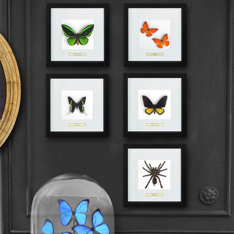 cadre d coratif avec papillon ornithoptera troide male. Black Bedroom Furniture Sets. Home Design Ideas