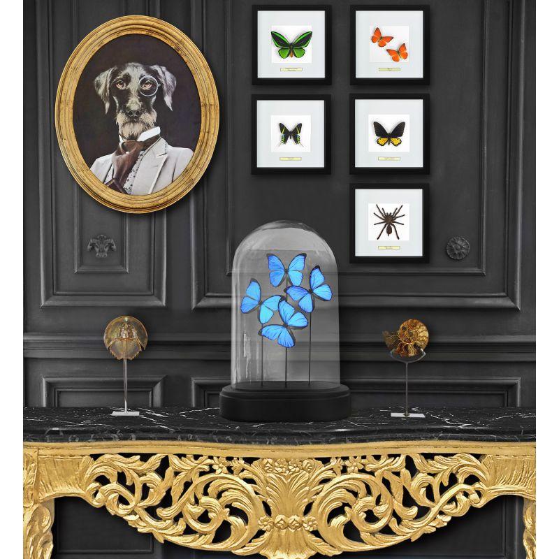 cadre d coratif avec mygale eurypeima spinicrus. Black Bedroom Furniture Sets. Home Design Ideas