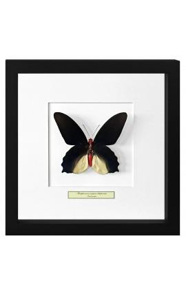 "Cadre décoratif avec papillon ""Atrophaneura Semperi Albofasciata - Male"""