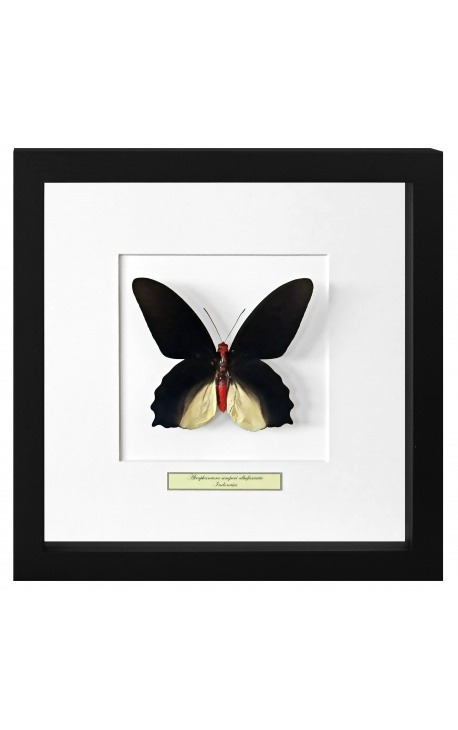 """Декоративная рамка с бабочкой """"Atrophaneura Semperi Albofasciata - Male"""""""