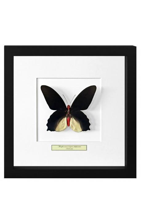 "Decorative frame with a butterfly ""Atrophaneura Semperi Albofasciata - Male"""