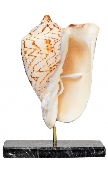 Cymbiola Nobilis sur support en marbre noir