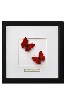 """Cadre décoratif avec papillons """"Cymothoe Sangaris """""""