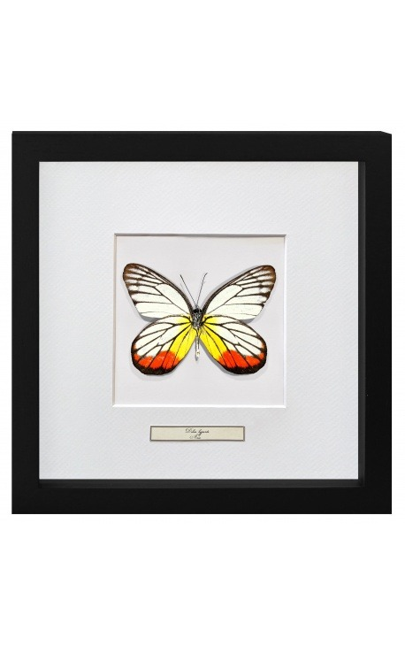 "Decorative frame with a butterfly ""Delias Hyparete"""