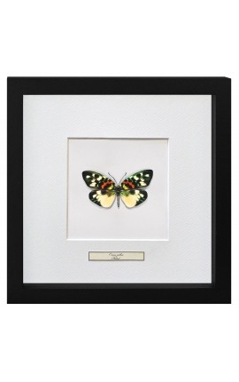 "Cadre décoratif avec papillon ""Erasmia Pulchera"""
