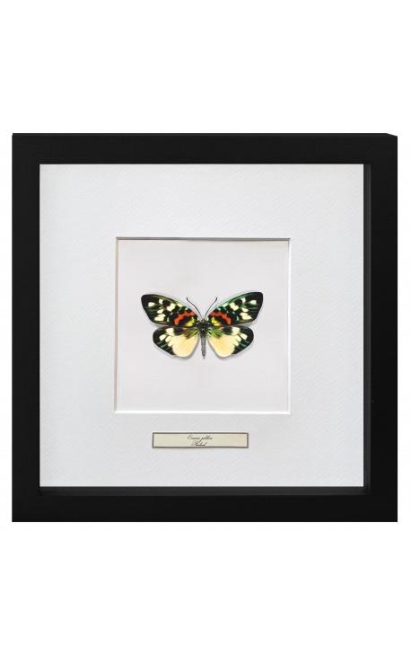 "Decorative frame with a butterfly ""Erasmia Pulchera"""