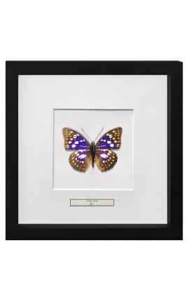 """Cadre décoratif avec papillon """"Sasakia Charonda"""""""