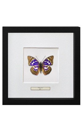 "Decorative frame with a butterfly ""Sasakia Charonda"""