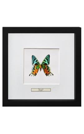"""Cadre décoratif avec papillon """"Urania Ripheus"""""""