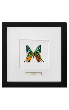 "Decorative frame with a butterfly ""Urania Ripheus"""