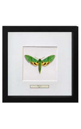 """Cadre décoratif avec papillon """"Papilio Phorcas"""""""