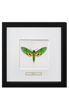 "Decorative frame with a butterfly ""Papilio Phorcas"""