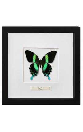 """Cadre décoratif avec papillon """"Papilio Blumei"""""""
