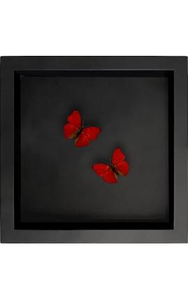 """Cadre décoratif sur fond noir avec papillon """"Cymothoe Sangaris"""""""