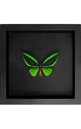 """Cadre décoratif sur fond noir avec papillon """"Ornithoptera Priamus Poseidon"""""""