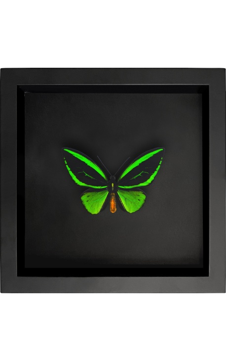 """Decorative frame on black background with butterfly """"Ornithoptera Priamus Poseidon"""""""