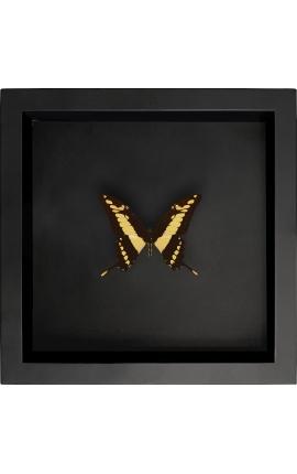 """Cadre décoratif sur fond noir avec papillon """"Papilio Thoas Cinyras"""""""