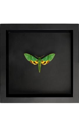 """Cadre décoratif sur fond noir avec papillon """"Euchloron Megaera"""""""