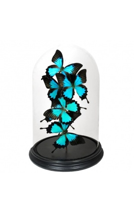 "Butterflies (6) ""Ulysses Ulysses"" under glass globe"