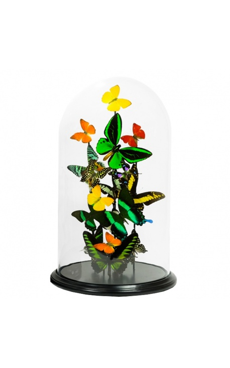 Exotic butterflies with several varieties of butterflies under glass dome (L)